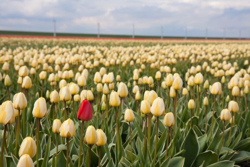 Eenzame rode tulp op geel tulpengebied stock afbeelding