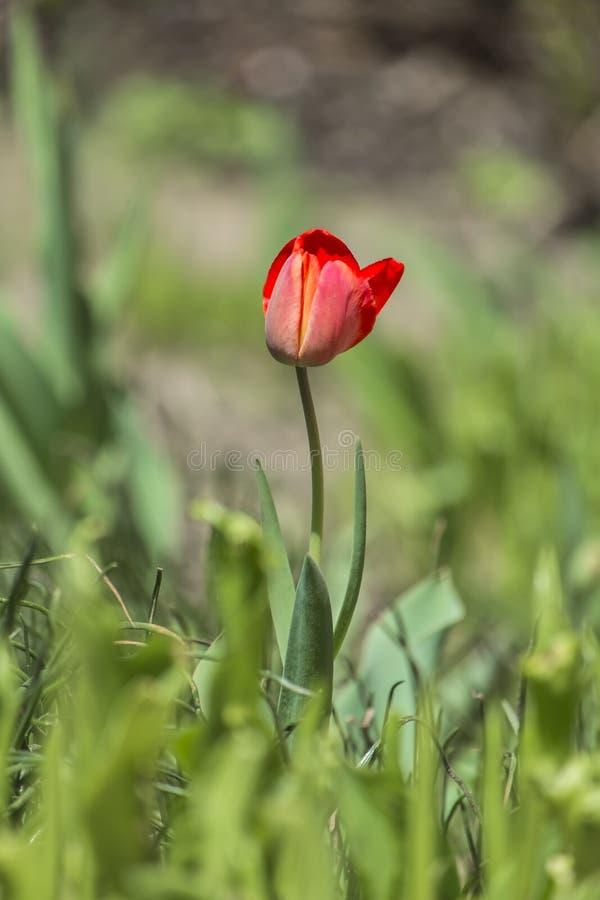 Eenzame rode tulp op vage groene achtergrond royalty-vrije stock afbeeldingen