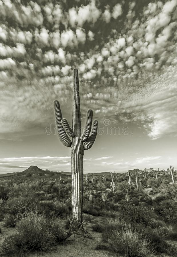 Eenzame Saguaro-Cactus op het Gebied van Phoenix AZ stock fotografie