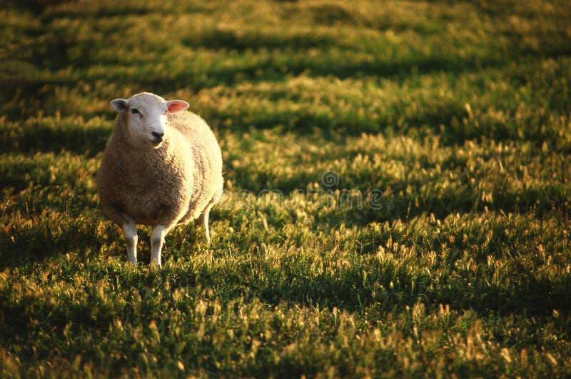 Eenzame schapen stock foto's