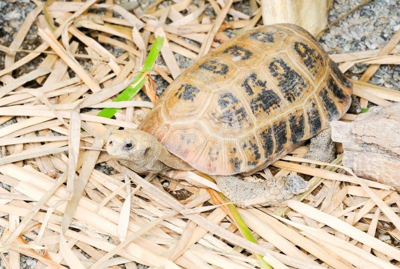 Eenzame schildpad royalty-vrije stock afbeelding