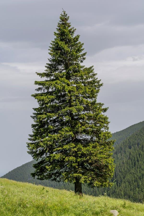 Eenzame spar op de rand van helling binnen in de bergen royalty-vrije stock fotografie