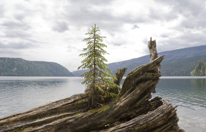 Eenzame spar op drijfhout stock fotografie