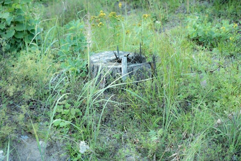Eenzame stomp, een vroegere hoge pijnboom Natuurreservaten van het gebied van Moskou stock foto