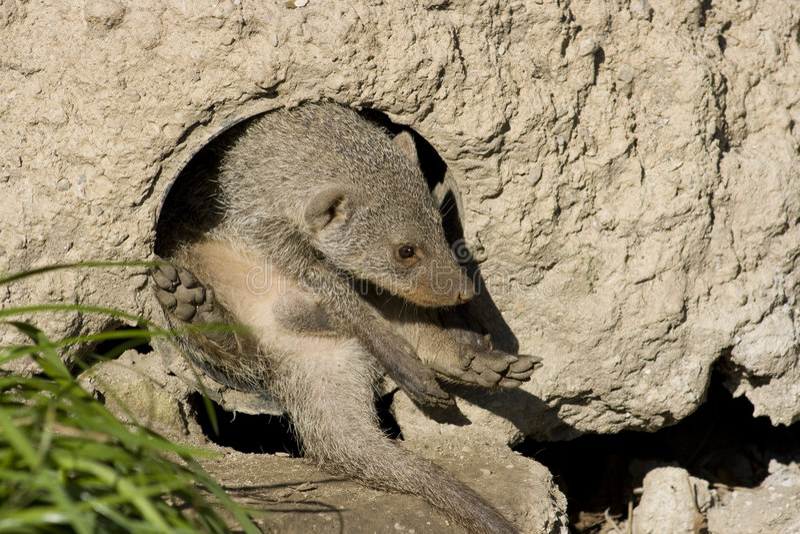 Eenzame suricate royalty-vrije stock foto's