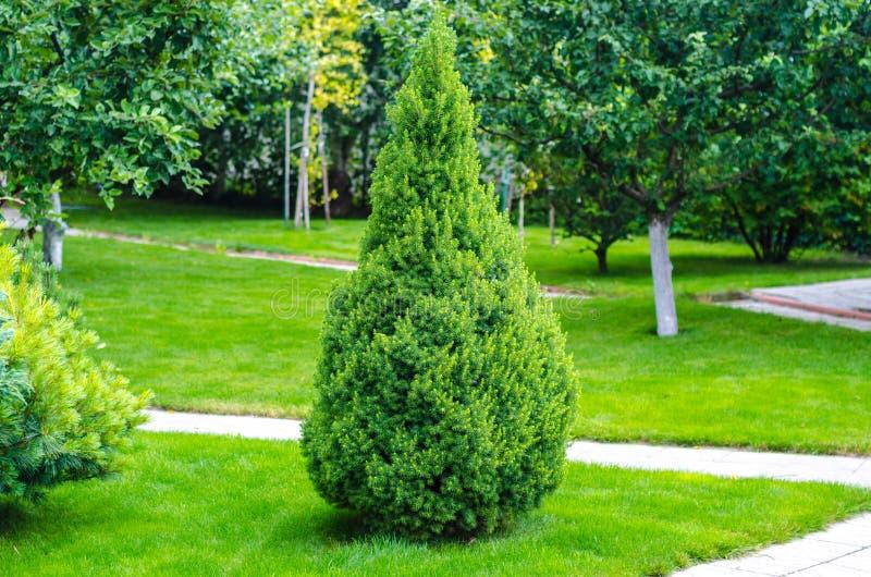 Eenzame thuja, arborvitae in de tuin stock fotografie