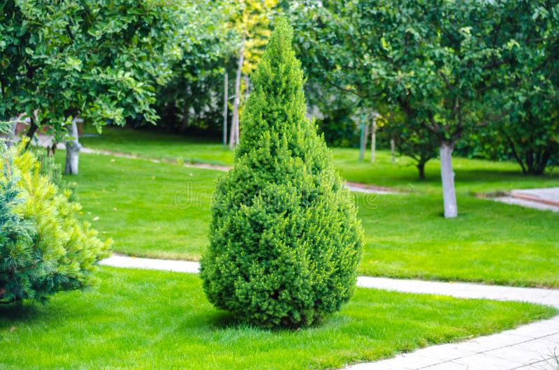 Eenzame thuja, arborvitae in de tuin royalty-vrije stock afbeelding