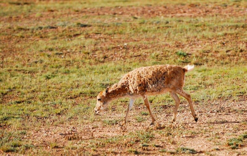 Eenzame Tibetaanse Antilope royalty-vrije stock fotografie