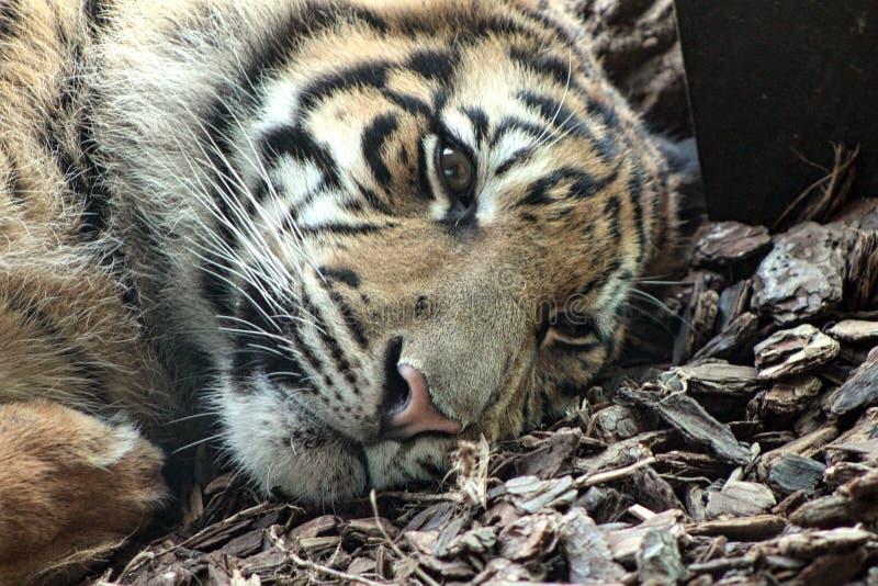 Eenzame tijger royalty-vrije stock foto's