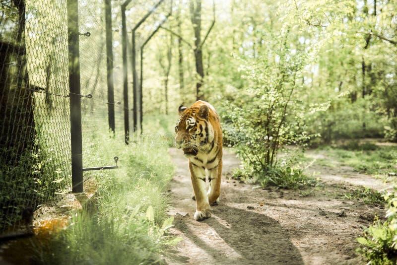 Eenzame tijger in gevangenschap die voorbij de omheiningen kijken royalty-vrije stock foto's