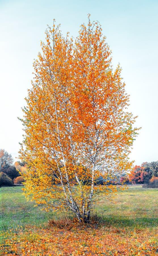 Eenzame vergeelde berkboom in de weide, het landschap van de de herfstaard stock foto's