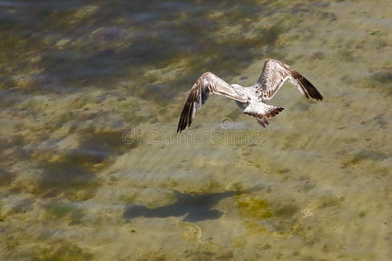 Eenzame vlucht net boven de Baltische Zeewaters royalty-vrije stock foto