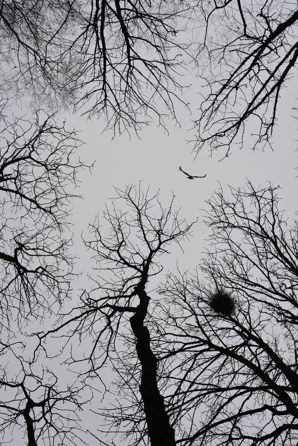 Eenzame vogel die onder de winterbomen vliegen royalty-vrije stock fotografie