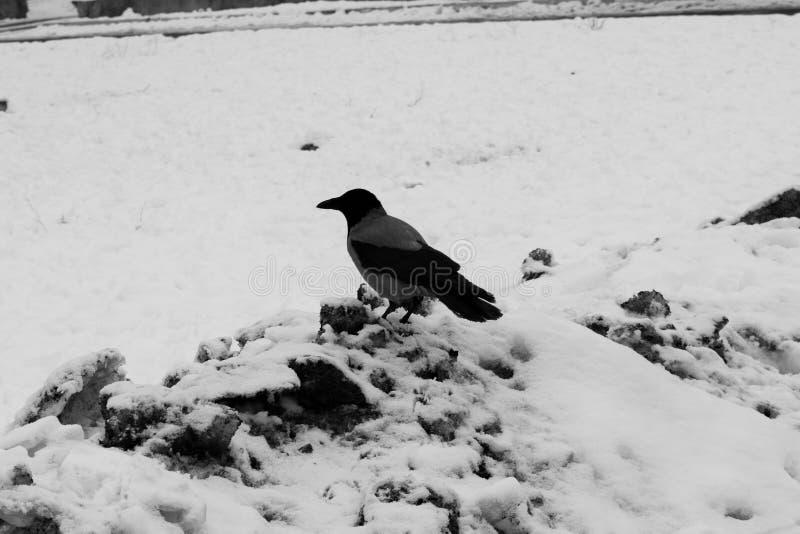 eenzame vogel op witte sneeuw royalty-vrije stock fotografie