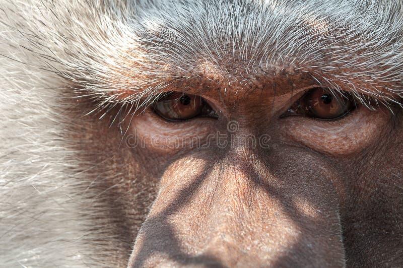 Eenzame vrij dichte aap droevige ogen stock foto's