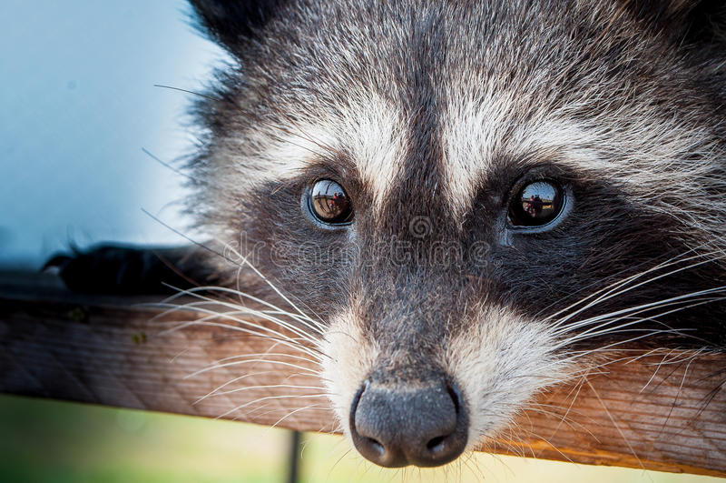 Eenzame wasbeer die de camera zeer dicht onderzoeken royalty-vrije stock fotografie