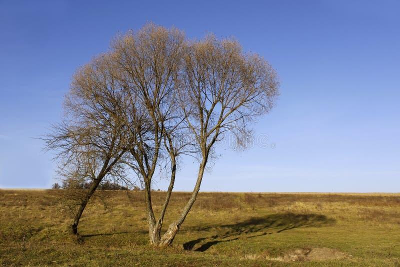 Eenzame wilgen in de herfstseizoen stock foto's