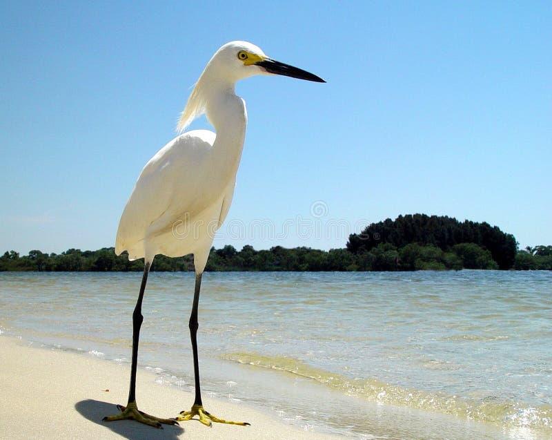 Eenzame Witte Reiger op zandig Strand -3 van Florida stock fotografie