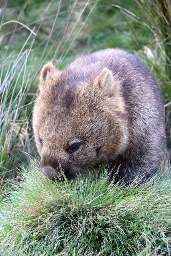 Eenzame wombat die diner in nationaal ionalpark van de Wiegberg hebben stock afbeelding