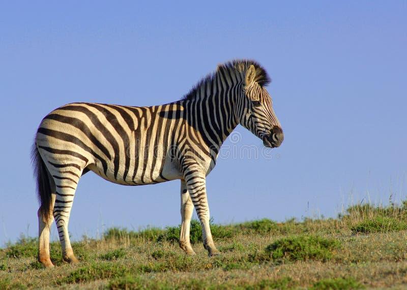 Eenzame Zebra royalty-vrije stock foto