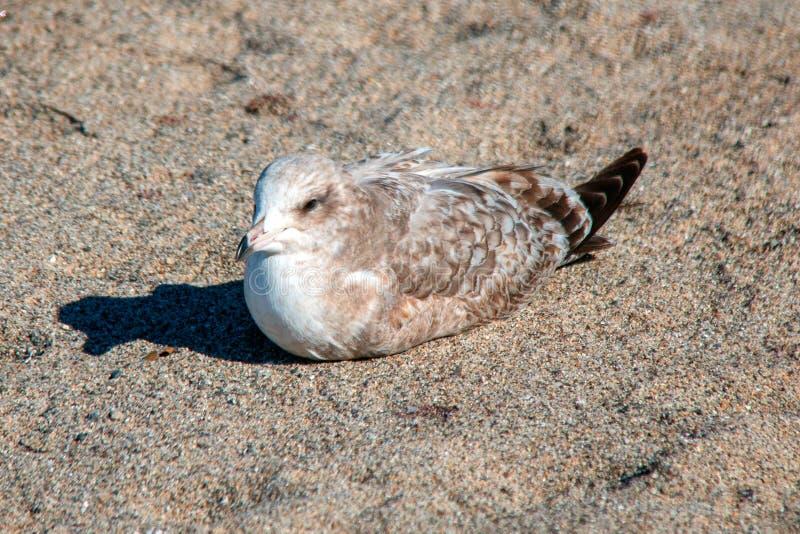 Eenzame Zeemeeuw [Laridae] zitting in het zand bij McGrath-het parkmoeras van de staat - Santa Clara-rivier - Ventura California  stock fotografie