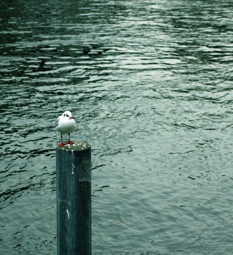 Eenzame zeemeeuw stock foto's
