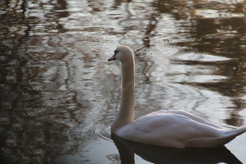 Eenzame Zwaan in de herfstwater stock fotografie