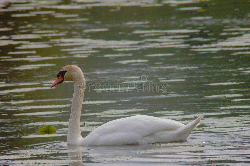 Eenzame zwaan die op een meer zwemmen royalty-vrije stock afbeeldingen