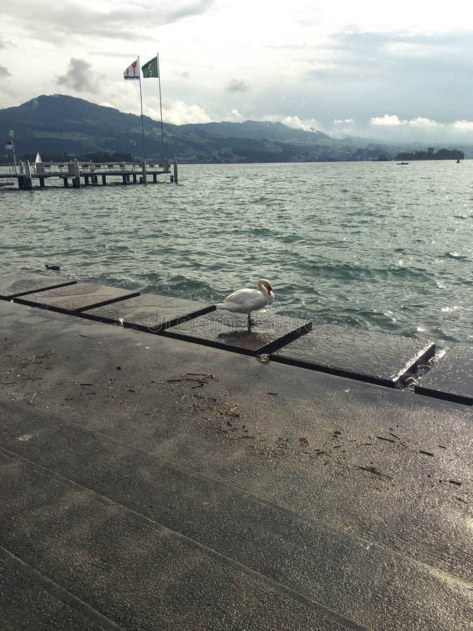 Eenzame zwaan door het meer stock fotografie