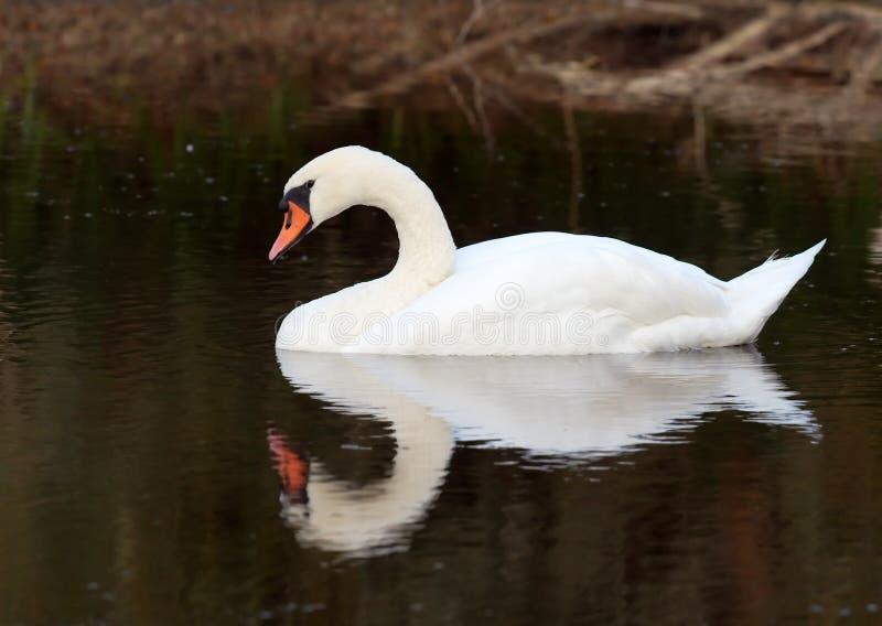 Eenzame zwaan op meer stock foto