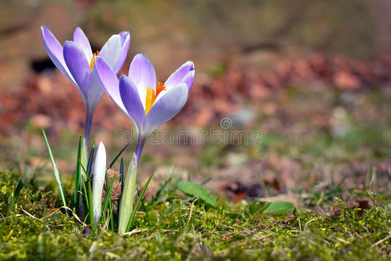 Eerst bloeiende purpere krokus op onscherpe grasachtergrond tijdens de vroege lente stock afbeeldingen