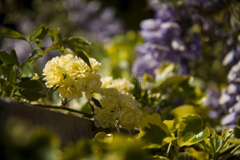 Eerst ladybanks bloemen van seizoen in de hoektuin royalty-vrije stock fotografie