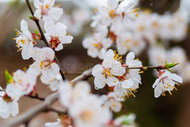 Eerste abrikozenbloemen Bloeiende abrikoos op een duidelijke de lentedag royalty-vrije stock afbeeldingen