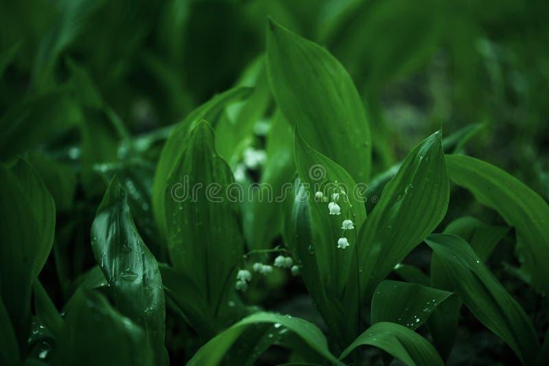 Eerste bloeiend lelietje-van-dalen in de schaduwrijke tuin stock afbeelding