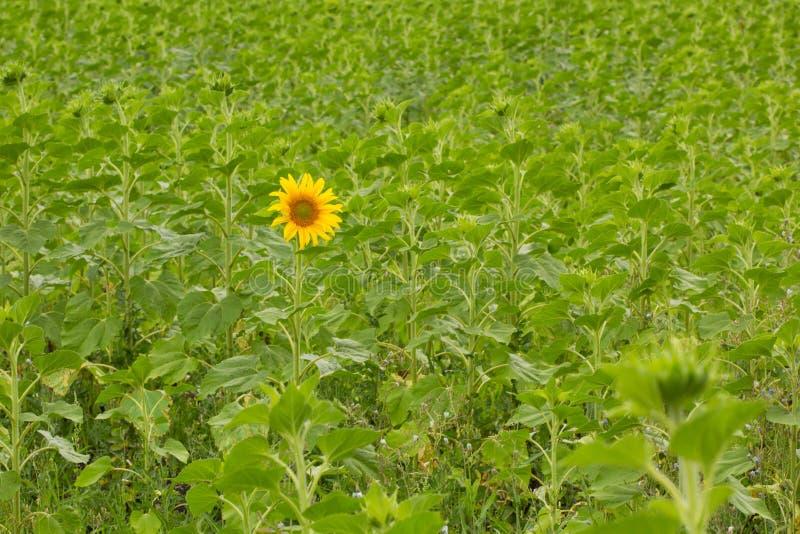 Eerste bloeiende zonnebloem stock fotografie