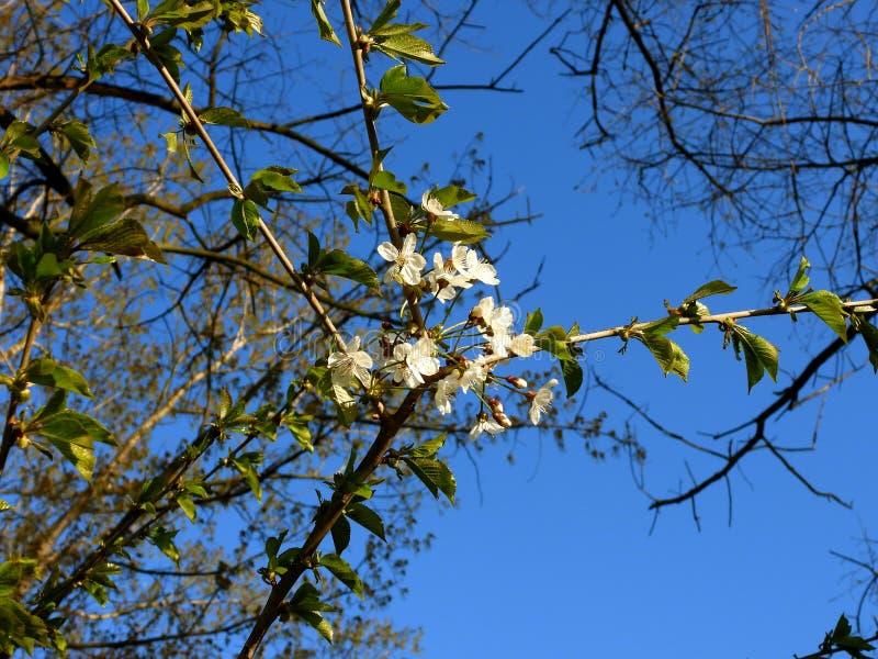 Eerste bloesems van de lente 2 stock foto