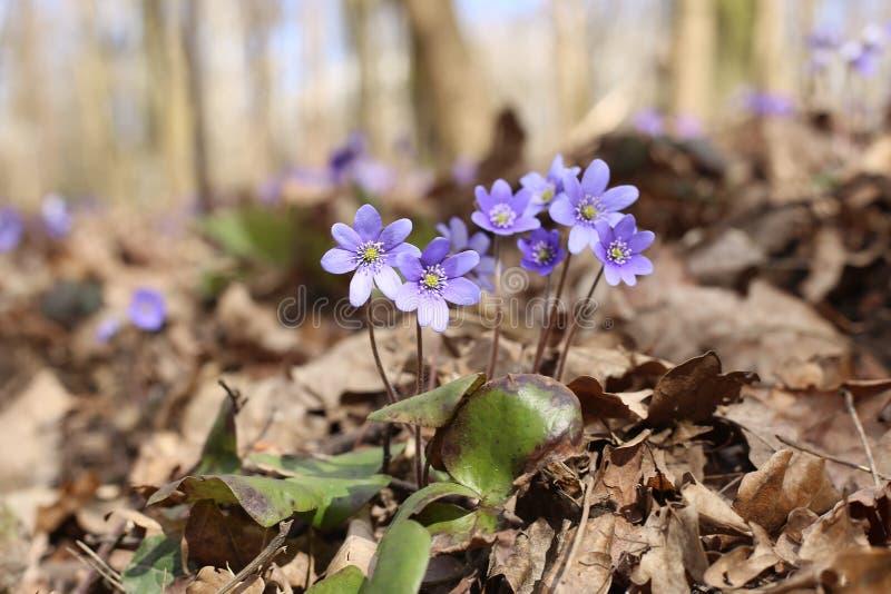 Eerste de Anemoonhepatica van de de lentebloem stock afbeeldingen