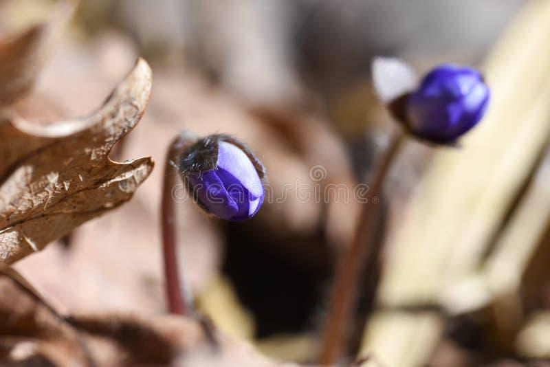 Eerste de lente mooie wildflowers ontspruiten door de grond in het bos royalty-vrije stock foto's