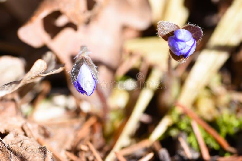 Eerste de lente mooie wildflowers ontspruiten door de grond in het bos stock afbeeldingen