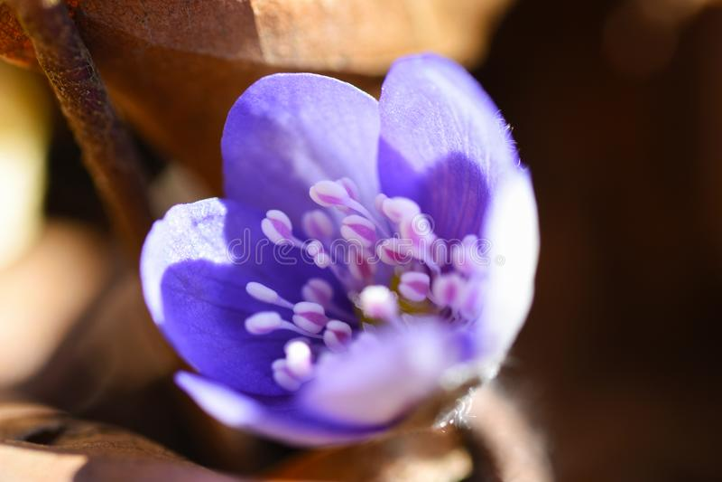 Eerste de lente mooie wildflowers ontspruiten door de grond in het bos royalty-vrije stock afbeelding