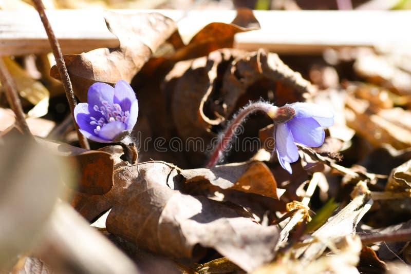 Eerste de lente mooie wildflowers ontspruiten door de grond in het bos royalty-vrije stock foto