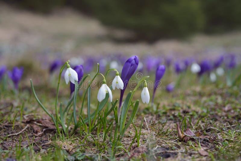 Eerste de lentebloemen op een bergweide royalty-vrije stock afbeeldingen