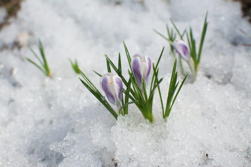 Eerste de lentebloemen in de sneeuw royalty-vrije stock fotografie