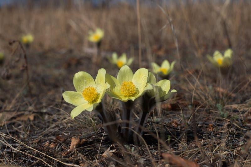 Eerste de lentebloemen - sneeuwklokjes stock foto's