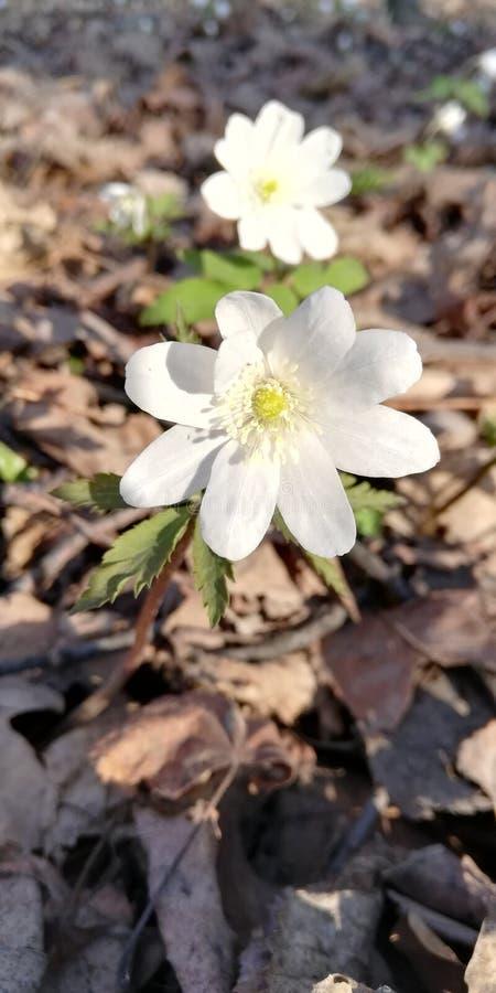 Eerste de lentebloemen royalty-vrije stock afbeeldingen