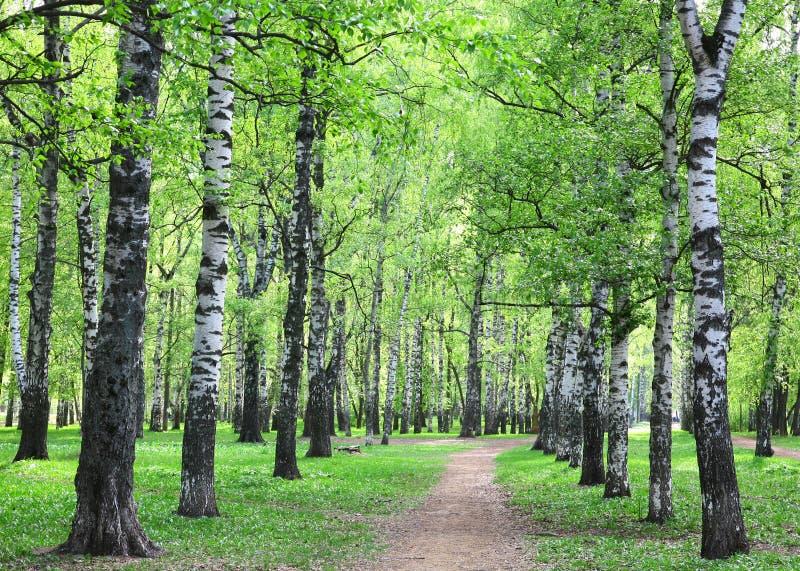 Download Eerste De Lentegreens In Het Avond Berkbosje Stock Foto - Afbeelding bestaande uit schoonheid, gras: 54085114