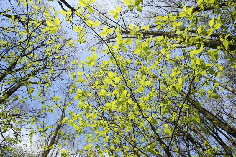 Eerste groene bladeren in de lente royalty-vrije stock foto's