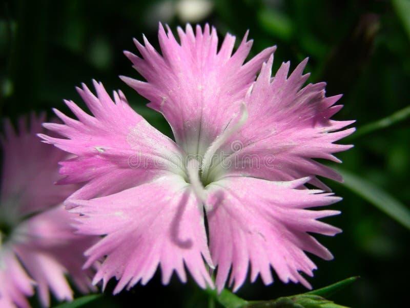 Eerste Liefde Dianthus royalty-vrije stock fotografie