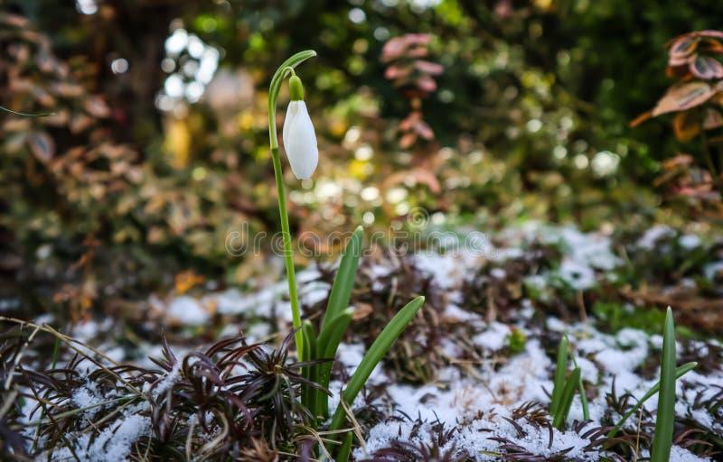 Eerste nivalis van sneeuwklokjegalanthus van onder de sneeuw en een vliegende bij in de tuin op een de lente zonnige dag royalty-vrije stock foto