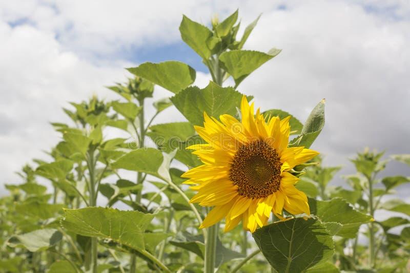 Eerste open zonnebloem van seizoen stock fotografie
